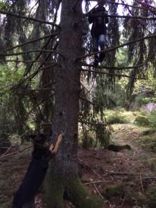 Stora valpen är vindfigge i träd