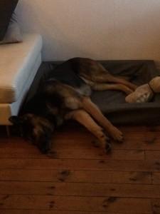 Har bantat Lamm-Bert. Blev jättetrött!